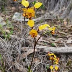 Diuris semilunulata (Late leopard orchid) at Piney Ridge - 9 Oct 2020 by nic.jario