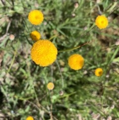 Leptorhynchos squamatus (Scaly Buttons) at Mulanggari Grasslands - 18 Oct 2020 by OllieCal