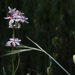Burchardia umbellata (Milk Maids) at Jack Perry Reserve - 17 Oct 2020 by Kyliegw