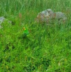 Polytelis swainsonii (Superb Parrot) at Kama - 16 Oct 2020 by nic.jario