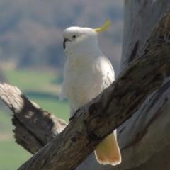 Cacatua galerita (Sulphur-crested Cockatoo) at Gordon, ACT - 14 Sep 2020 by michaelb