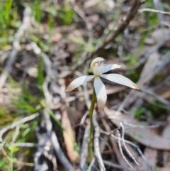 Caladenia ustulata (Brown caps) at Piney Ridge - 9 Oct 2020 by nic.jario