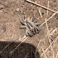 Tasmanicosa sp. (genus) (Unidentified Tasmanicosa wolf spider) at Mulanggari Grasslands - 18 Oct 2020 by OllieCal