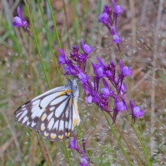 Belenois java (Caper White) at Dryandra St Woodland - 16 Oct 2020 by ConBoekel