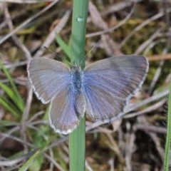 Zizina otis (Common Grass-blue) at Dryandra St Woodland - 16 Oct 2020 by ConBoekel