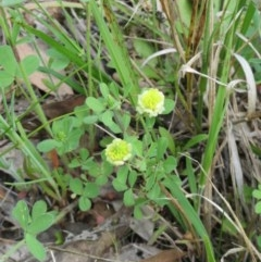 Trifolium campestre (Hop Clover) at The Pinnacle - 17 Oct 2020 by sangio7