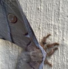 Opodiphthera eucalypti (Emperor Gum Moth) at Nanima, NSW - 17 Oct 2020 by 81mv