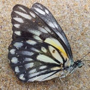 Belenois java at Murramarang National Park - 18 Oct 2020