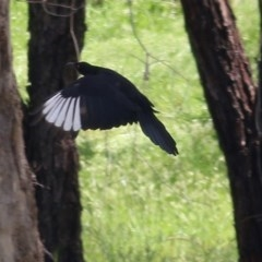 Corcorax melanorhamphos (White-winged Chough) at Wodonga - 18 Oct 2020 by Kyliegw