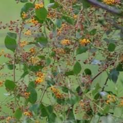 Daviesia latifolia (Hop Bitter-Pea) at Wodonga - 18 Oct 2020 by Kyliegw