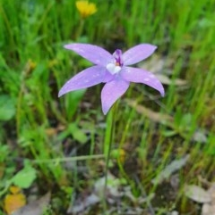 Glossodia major (Wax lip orchid) at Piney Ridge - 9 Oct 2020 by nic.jario