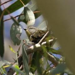 Pardalotus punctatus (Spotted Pardalote) at Wodonga - 18 Oct 2020 by Kyliegw