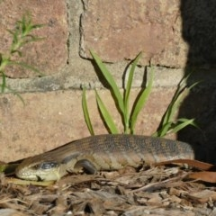 Tiliqua scincoides (Eastern Blue-tongue) at Rivendell Mimosa Park Road - 21 Sep 2020 by vivdavo
