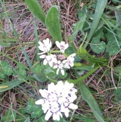 Wurmbea dioica subsp. dioica (Early Nancy) at Mulanggari Grasslands - 17 Oct 2020 by OllieCal