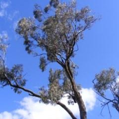 Eucalyptus bridgesiana (Apple Box) at Curtin, ACT - 18 Oct 2020 by MichaelMulvaney