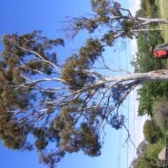 Eucalyptus mannifera (Brittle Gum) at Curtin, ACT - 18 Oct 2020 by MichaelMulvaney