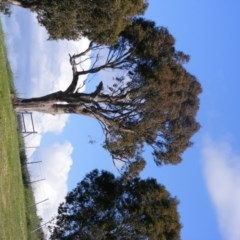 Eucalyptus blakelyi (Blakely's Red Gum) at Curtin, ACT - 17 Oct 2020 by MichaelMulvaney