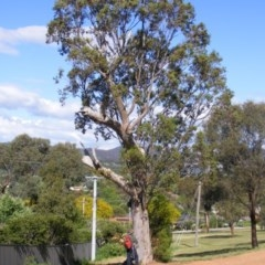 Eucalyptus blakelyi (Blakely's Red Gum) at Curtin, ACT - 18 Oct 2020 by MichaelMulvaney