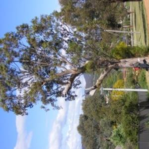 Eucalyptus blakelyi at Curtin, ACT - 18 Oct 2020