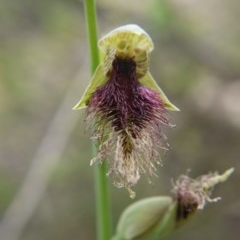 Calochilus platychilus (Purple beard orchid) at Point 5204 - 17 Oct 2020 by ClubFED