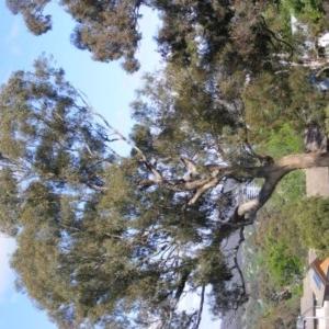 Eucalyptus melliodora at suppressed - 18 Oct 2020