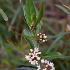 Marsdenia suaveolens (Scented Marsdenia) at Morton National Park - 17 Oct 2020 by Boobook38