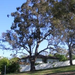 Eucalyptus melliodora at Curtin, ACT - 18 Oct 2020