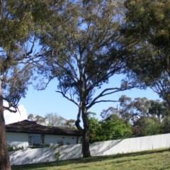 Eucalyptus melliodora (Yellow Box) at Curtin, ACT - 18 Oct 2020 by MichaelMulvaney