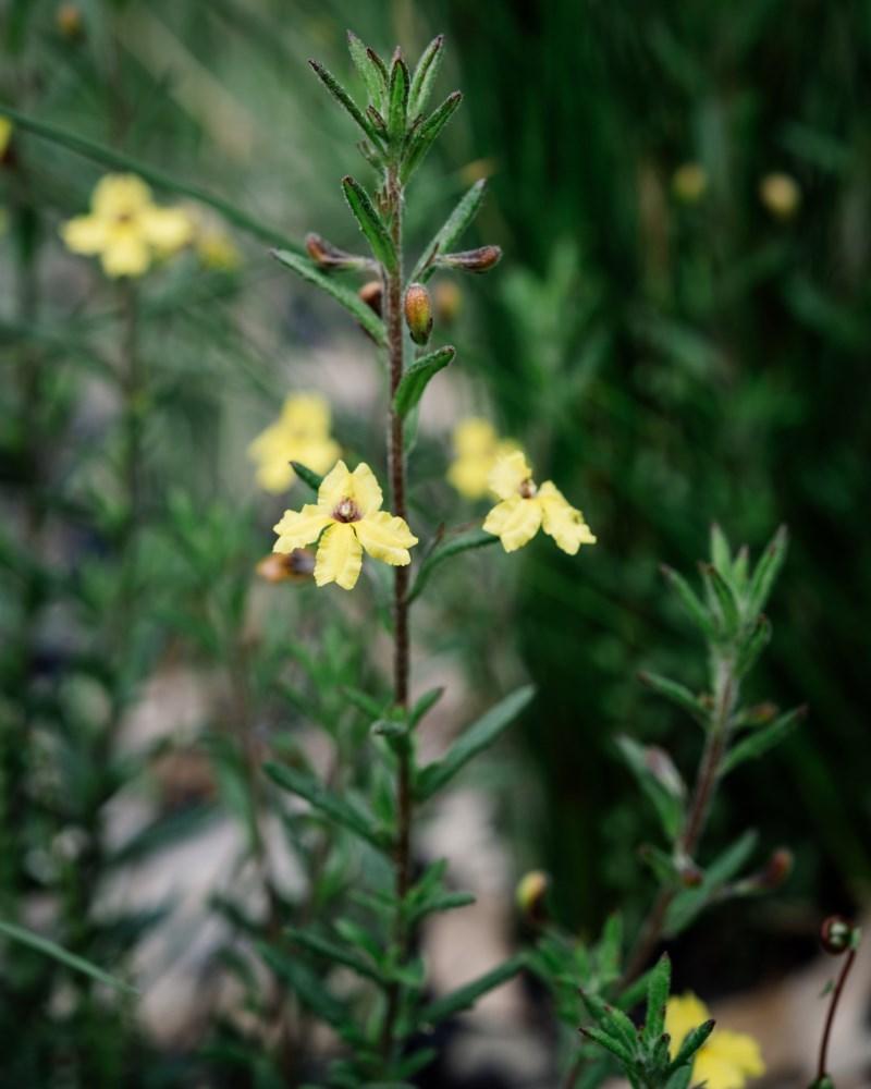 Goodenia heterophylla at Morton National Park - 18 Oct 2020