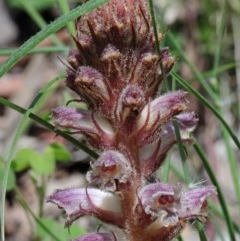 Orobanche minor (Lesser Broomrape) at Dryandra St Woodland - 17 Oct 2020 by ConBoekel