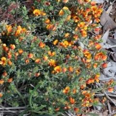 Pultenaea procumbens at Dryandra St Woodland - 17 Oct 2020