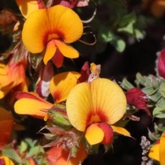 Pultenaea procumbens (Bush Pea) at Dryandra St Woodland - 16 Oct 2020 by ConBoekel