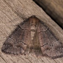 Dysbatus sp. (genus) (A Line-moth) at Melba, ACT - 12 Oct 2020 by kasiaaus