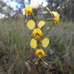 Diuris nigromontana (Black mountain leopard orchid) at Point 20 - 17 Oct 2020 by Liam.m