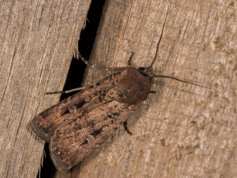 Agrotis infusa at Melba, ACT - 12 Oct 2020