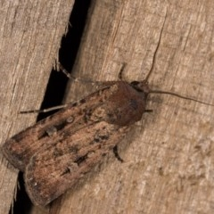 Agrotis infusa (Bogong Moth, Common Cutworm) at Melba, ACT - 12 Oct 2020 by kasiaaus