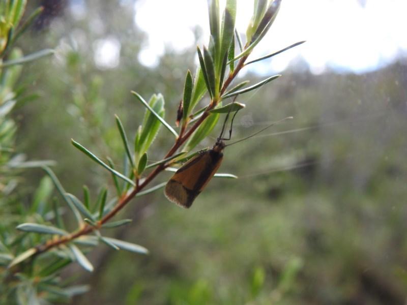 Philobota undescribed species near arabella at Black Mountain - 18 Oct 2020
