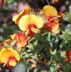 Pultenaea procumbens (Bush Pea) at Dryandra St Woodland - 17 Oct 2020 by ConBoekel