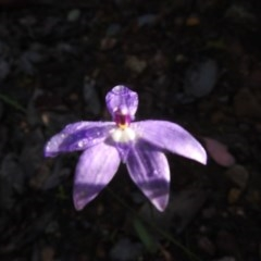 Glossodia major (Wax lip orchid) at Black Mountain - 17 Oct 2020 by Liam.m