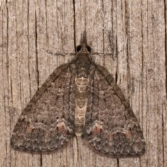 Microdes squamulata (Dark-grey Carpet) at Melba, ACT - 12 Oct 2020 by kasiaaus