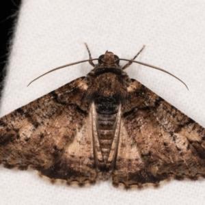 Cryphaea xylina at Melba, ACT - 12 Oct 2020