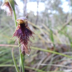 Calochilus platychilus (Purple beard orchid) at Black Mountain - 18 Oct 2020 by Liam.m