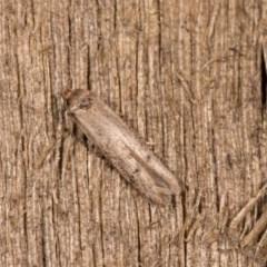 Blastobasis (genus) unidentified species at Melba, ACT - 12 Oct 2020 by kasiaaus