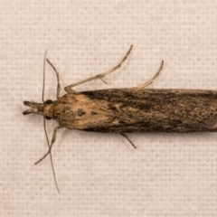 Faveria tritalis (Couchgrass Webworm) at Melba, ACT - 12 Oct 2020 by kasiaaus