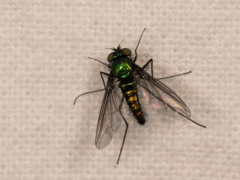 Austrosciapus sp. (genus) at Melba, ACT - 12 Oct 2020