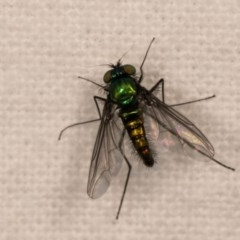 Austrosciapus sp. (genus) (Long-legged fly) at Melba, ACT - 12 Oct 2020 by kasiaaus