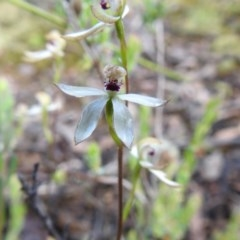 Caladenia cucullata (Lemon caps) at Black Mountain - 18 Oct 2020 by Liam.m