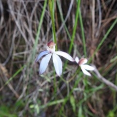 Caladenia moschata (Musky caps) at Black Mountain - 17 Oct 2020 by Liam.m