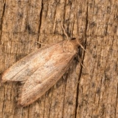 Oecophorinae sp. (subfamily) (Unidentified Oecophorinae concealer moth) at Melba, ACT - 12 Oct 2020 by kasiaaus