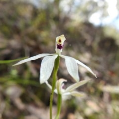 Caladenia cucullata (Lemon caps) at Black Mountain - 17 Oct 2020 by Liam.m